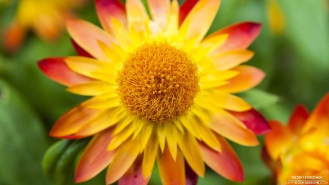 yellow-orange-red-flower-8-18-2014