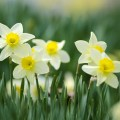 yellow-daffodils-5-23-2015
