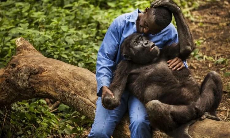 Senkwekwe gorilla orphanage Centre - gorilla orphanage in congo