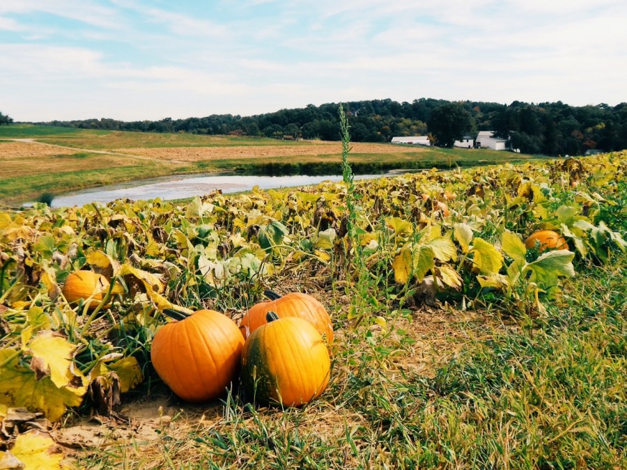 Pumpkin patch at Shenot's, Photo by Nadine Champsi