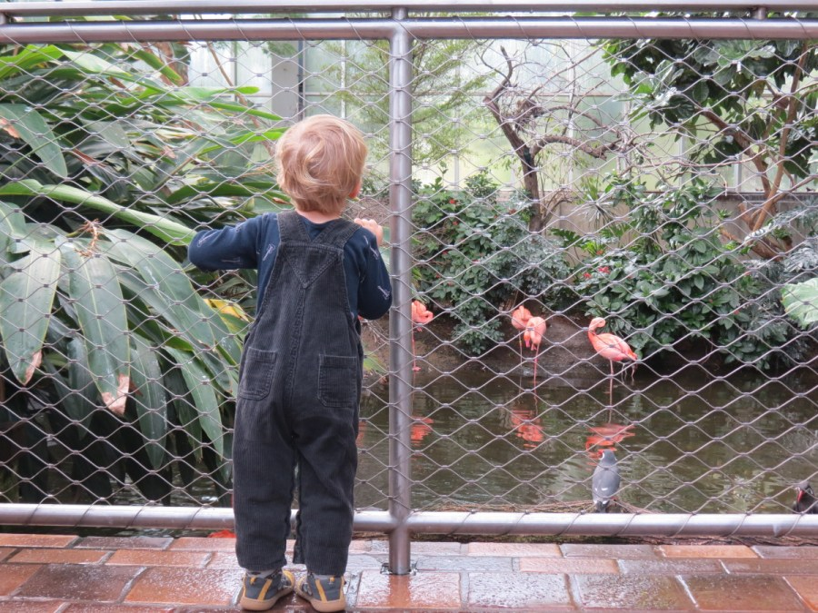A child marvels at the flamingos at the National Aviary