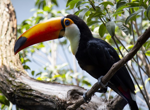 Pretty birds! A pair of toucans just landed as a double bill at the Aviary