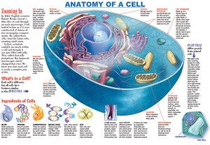 Infographic: Anatomy of a Cell  KIDS DISCOVER