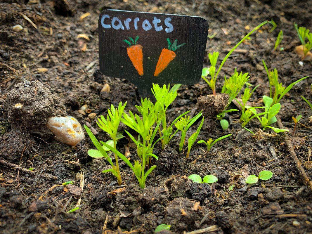 How To Grow Carrots Kids Do Gardening