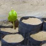 Baobab seedling
