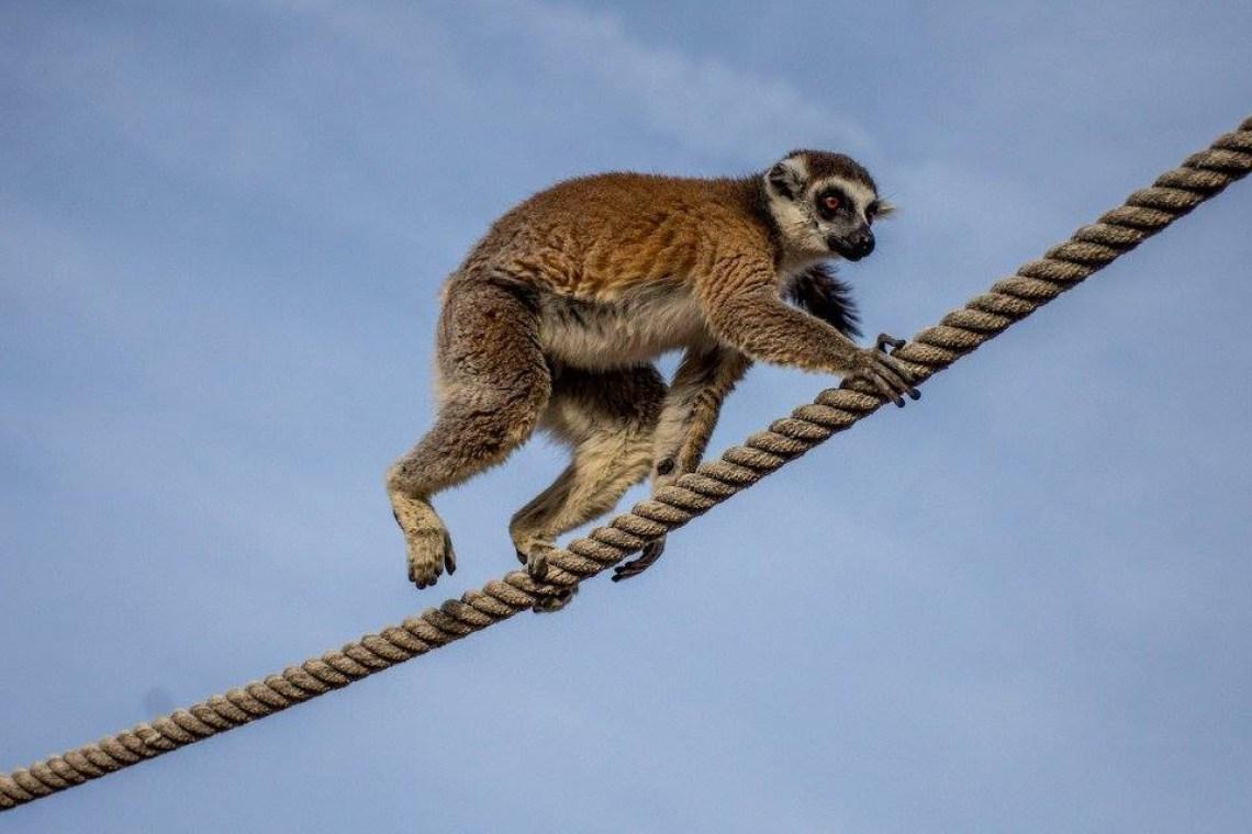 lemur Attica zoo park