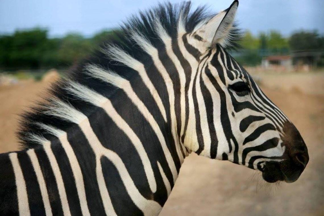 zebra Attica zoo park