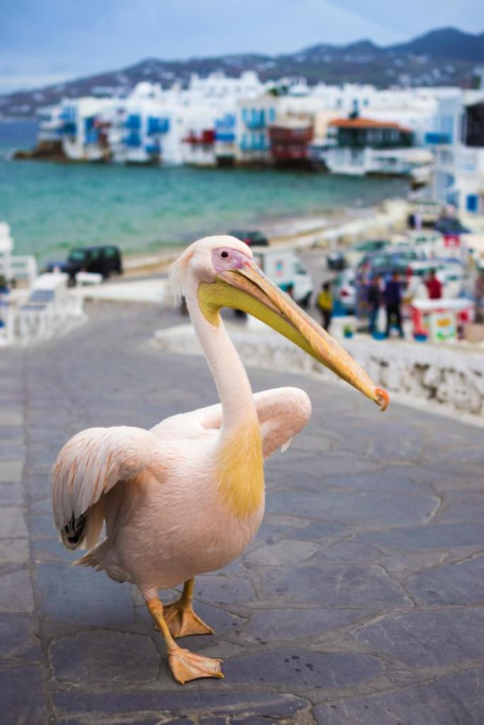 pelican at Mykonos