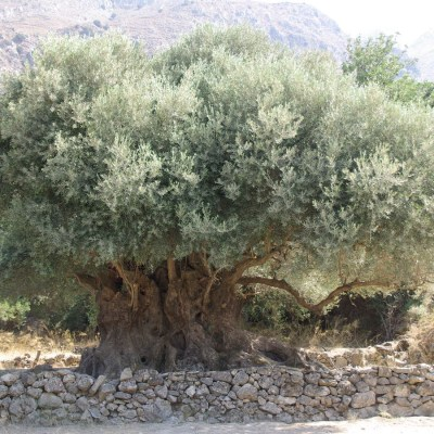 What does an olive tree and UNESCO have in common?