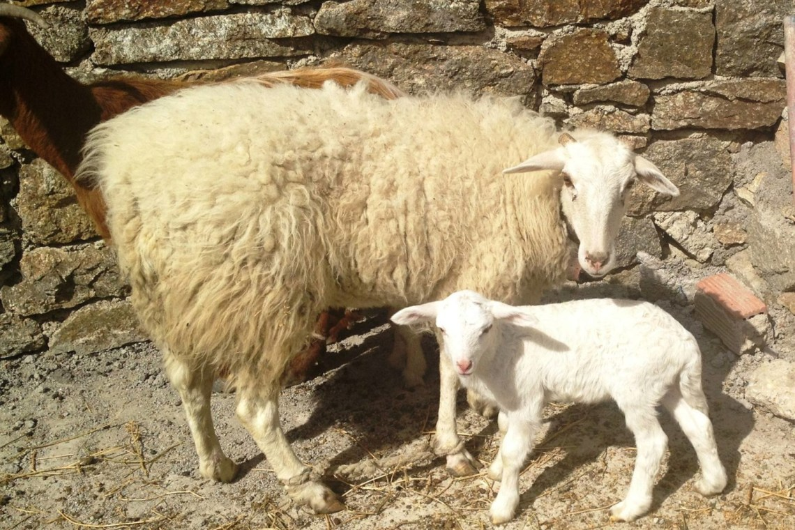 family visit to an animal and organic farm on mykonos Cyclades kids love greece activities for families greek culture