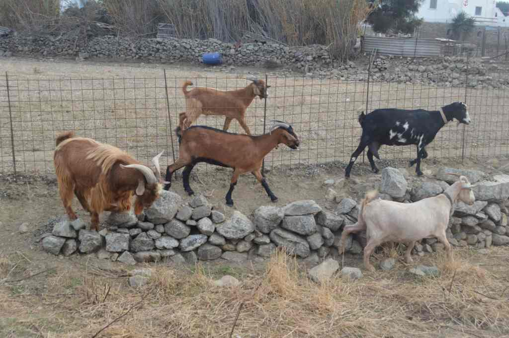 greek culture family visit to an animal and organic farm on mykonos activities for families kids love greece Cyclades