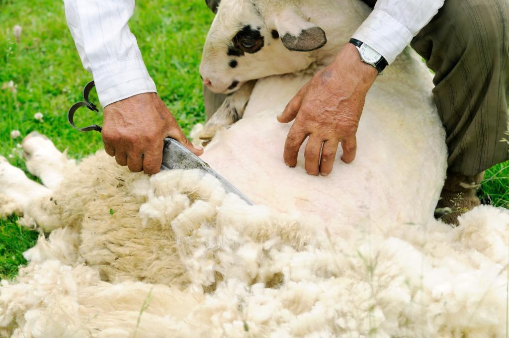 sheep shearing Greece DP