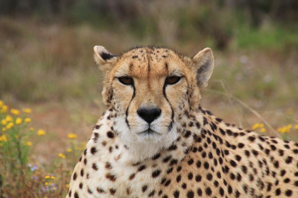 Cheetah laying on he ground
