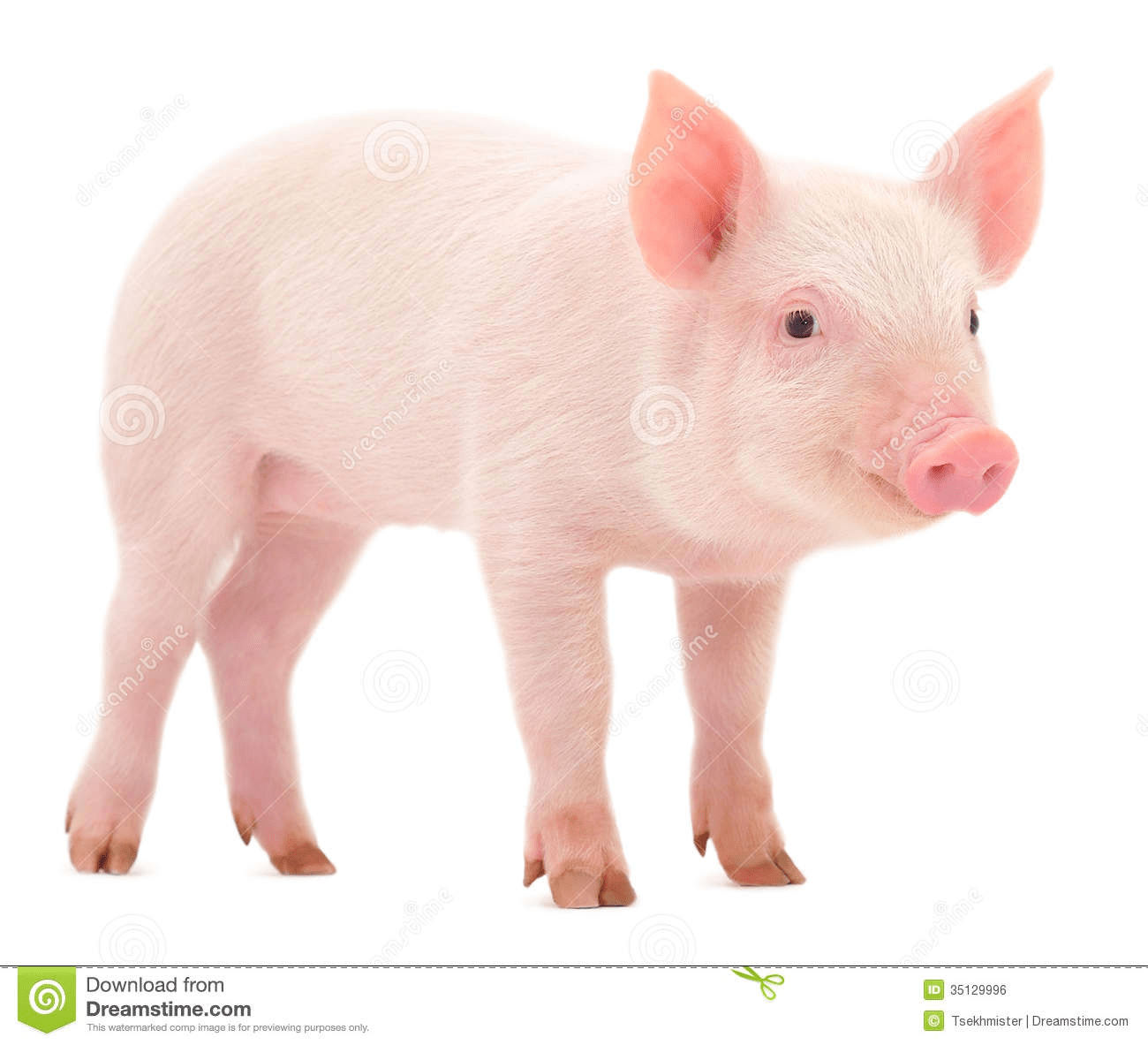 Pig Pictures