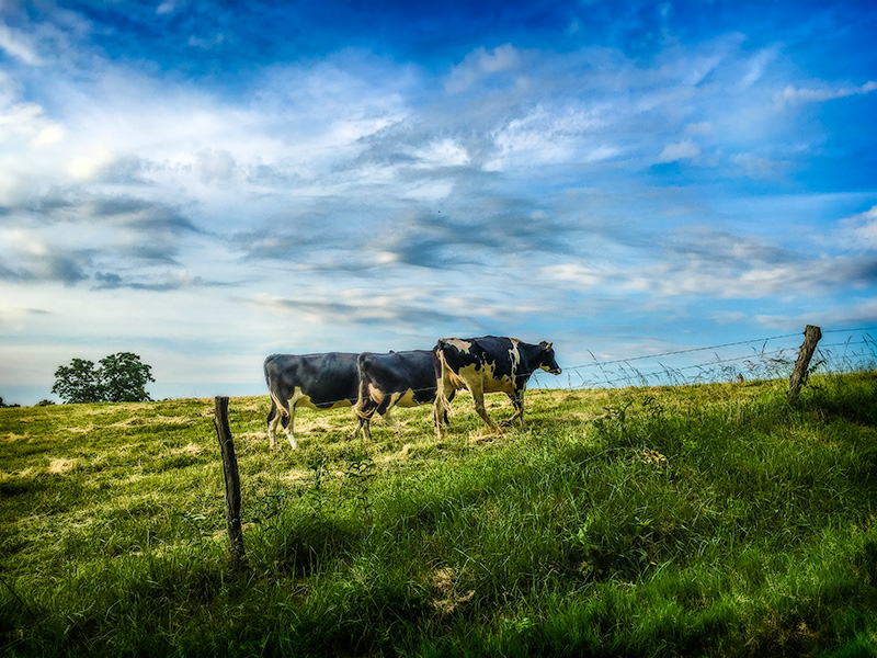 cowwalking