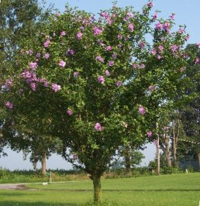 Althea Ardens Purple Kiefer Landscaping Your Landscaping Experts