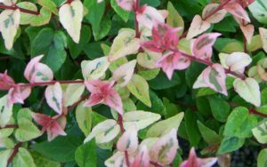 Abelia Mardi Gras Kiefer Landscaping Your Landscaping Experts