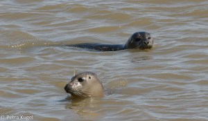 Zeehonden in de Dollard