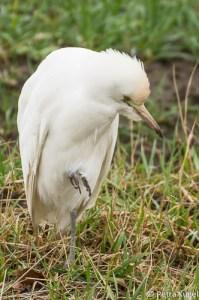 Koereiger (Bubulcus ibis)