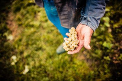 Qualitätskontrolle der Weintrauben