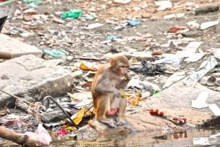 Małpa zawsze coś ze śmieci wygrzebie