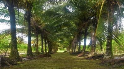 Coconut plantation management