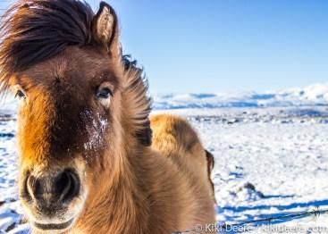 Horse, Iceland