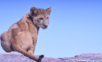 Lion Cub Resting on the rock in Serengeti