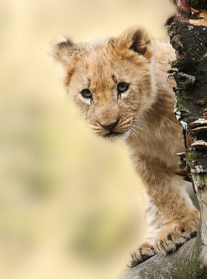 Lion Cub Watching, Serengeti, Tanzania