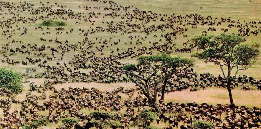 serengeti-migration Seronera