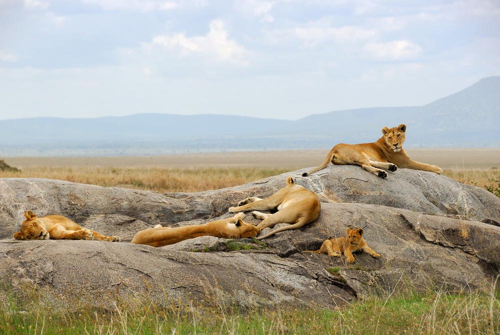 4 Days Affordable Safari In Tanzania | Simba Safari