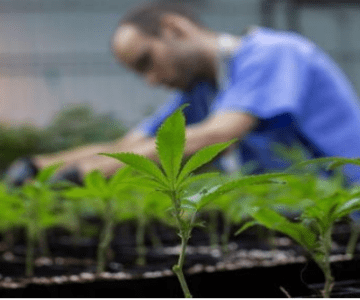 Get The License To Cultivate Cannabis In Your Backyard !