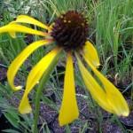 EchinaceaParadoxa