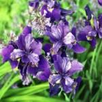 IrisSibiricaRuffledVelvet