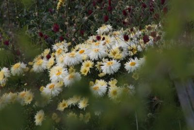 ChrysantheumGoldraush