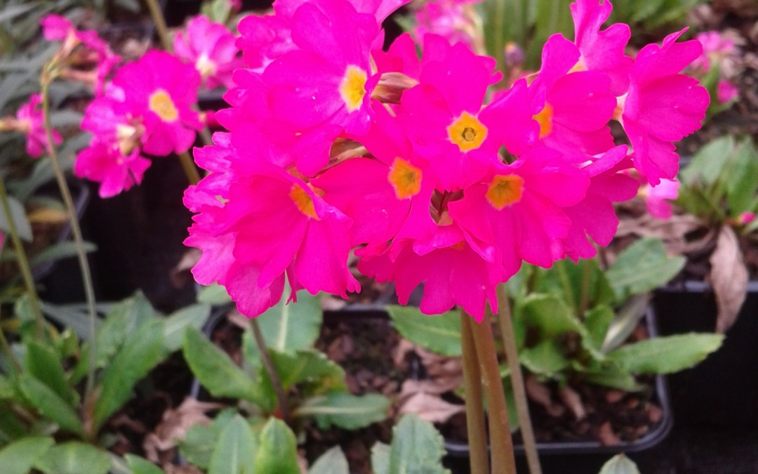 Plant of the week – Primula gigas