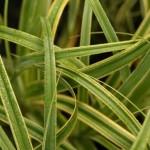 Carex Rekohu Sinrise