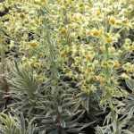 EuphorbiaEmmerGreen