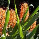 HedychiumCoccineum