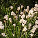 LibertiaGrandiflora