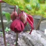 PodophyllumspottyDotty