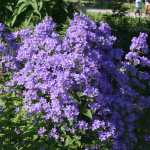 Campanula-lactiflora-Border-Blues