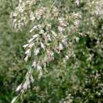 Deschampsia-Bronze-Veil