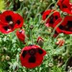 Papaver-commutatum-Ladybird-Poppy