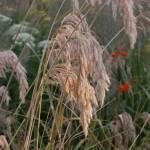 Calamagrostis-emodensis