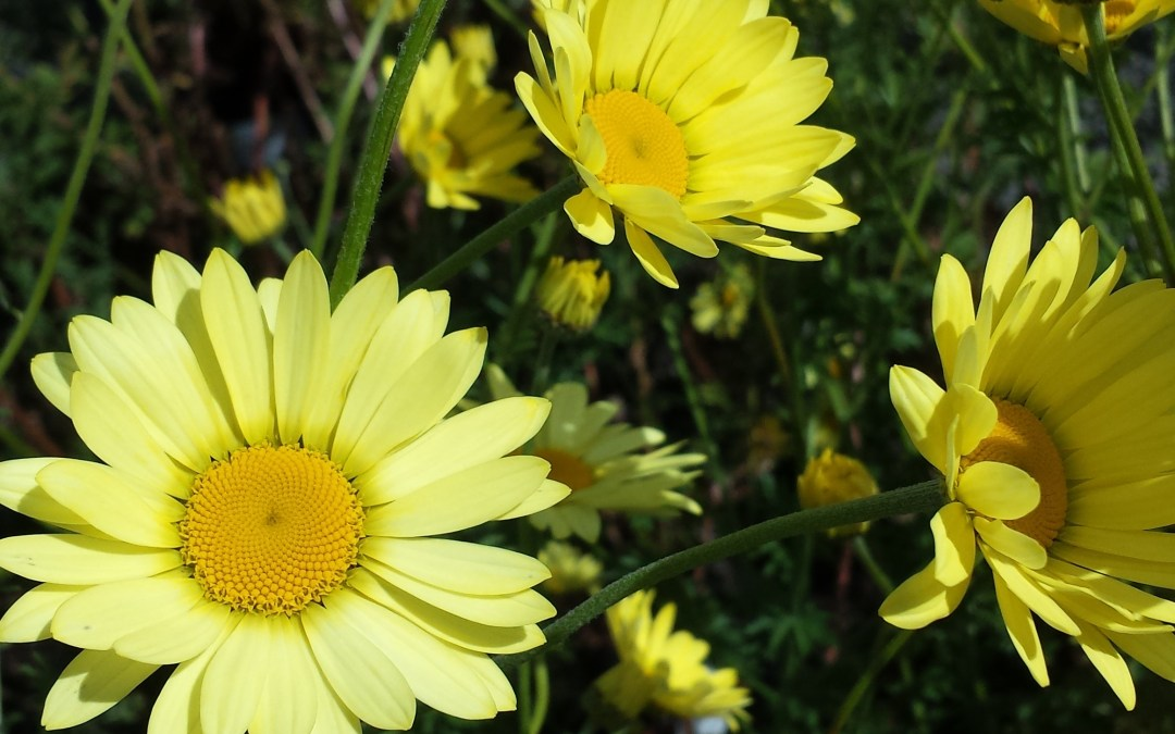 Our Plant of the Week-Anthemis tinctoria 'E.C Buxton'