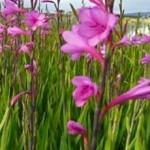 Watsonia-pillansii-Pink-Form