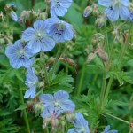 Geranium-pratense-Mrs-Kendall-Clark