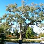 Baumpflege in Australia großen Baum