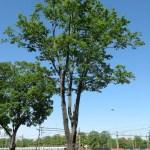 Totholzentfernung Hamburg Baumpflege Nachher
